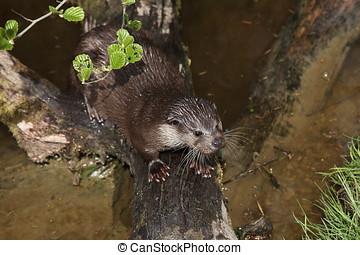 European Otter in the Wild Life