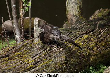 European Otter in the Wild Life
