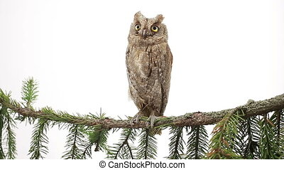 European owl on a branch a fir-tree on the white screen