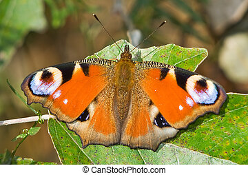 European Peacock butterfly (Inachis io)