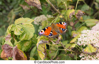European Peacock butterfly sitting on a dry vine leaf