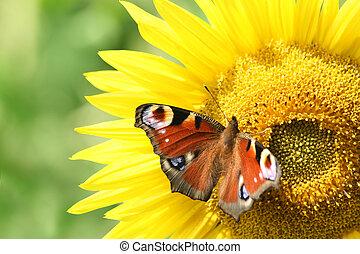 European Peacock (Inachis io), on a sunflower