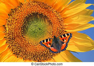 European Peacock on sunflower against a blue sky