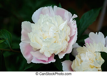 Common peony (Paeonia officinalis)