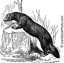 European polecat (Mustela putorius) or black polecat,...