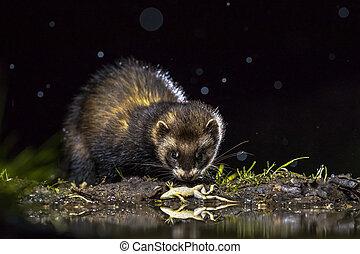 European polecat with frog prey - European polecat (Mustela...