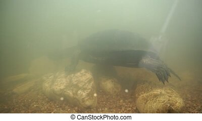 European pond turtle in terrarium (Emys orbicularis). -...