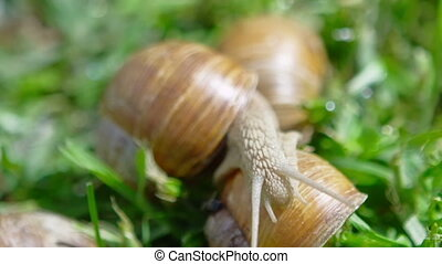 European pulmonate land snail (Helix aspersa) moving on the...