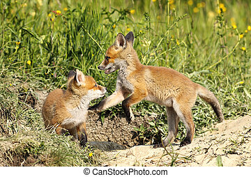 red fox brothers playing in clearing
