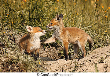 fox brothers playing in natural habitat