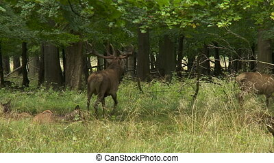 European Reed deer
