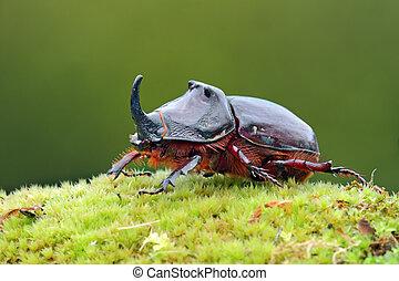 European rhinoceros beetle in the wild - Oryctes nasicornis