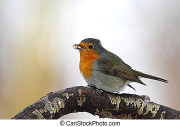 European Robin (Erithacus rubecula) sitting on a twig in...
