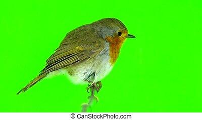 European Robin (Erithacus rubecula) isolated on green screen