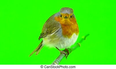 European Robin (Erithacus rubecula) isolated on green screen
