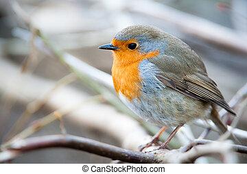 European Robin (lat. Erithacus rubecula)