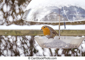 European Robin on a birdfeeder in the winter with snow in...