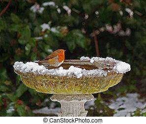 Robin on bird bath in snow - European Robin on bird bath in...