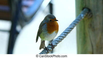 Beautiful European Robin Or Robin Redbreast (Erithacus Rubecula) Perched On A Rope And Flying. Close Up View / Macro Shot - DCi 4K Resolution
