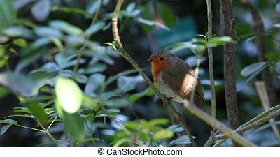 Beautiful European Robin Or Robin Redbreast (Erithacus Rubecula) Perched On A Tree Branch. Close Up View / Macro Shot - DCi 4K Resolution