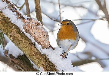 European robin redbreast bird eating homemade bird feeder,...