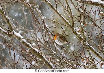 European robin redbreast bird sitting on tree branch all...