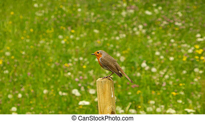 European robin sits on a mast in spring in Germany