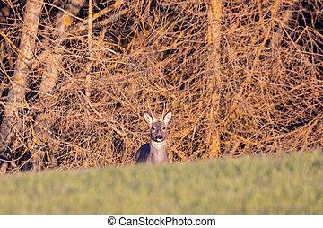European roe deer near village europe wildlife