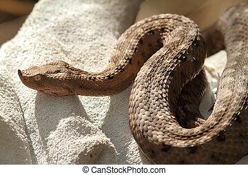 european sand viper on leather glove ( Vipera ammodytes )