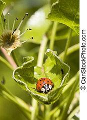 European seven spot ladybird Coccinella septempunctata -...
