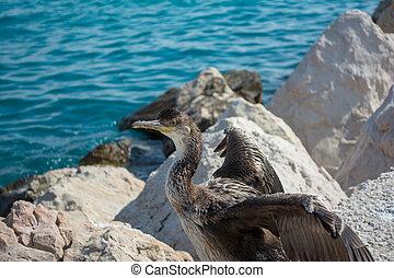 European shag or common shag Phalacrocorax aristotelis at the Croatian Shore.