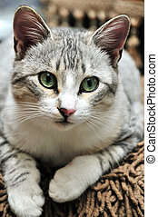 European shorthair cat of gray coat pattern