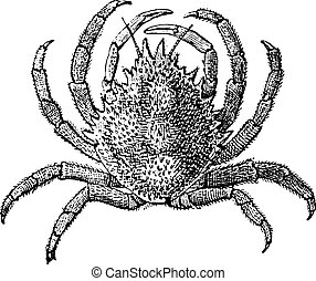 European Spider Crab or Maja squinado, vintage engraving -...