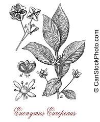 European spindle ornamental plant, vintage print