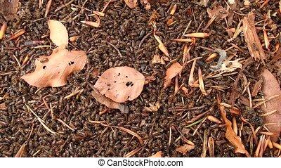 European spruce bark beetle, (Ips typographus)