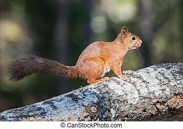 European squirrel sitting on a log