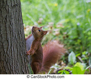 european squirrl in the park
