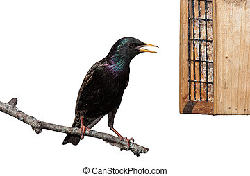 European Starling - A European starling, bright yellow beak...