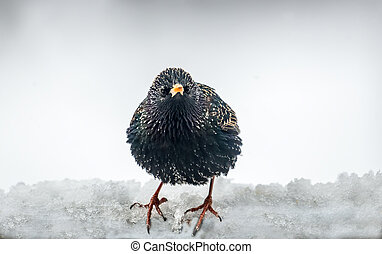 European Starling in the snow