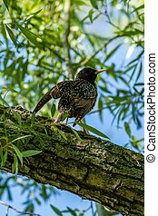 European starling on the branch