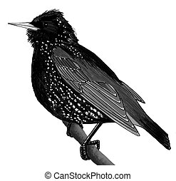 European Starling - Sturnus vulgaris