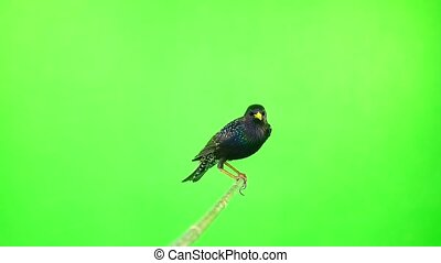 European Starling (Sturnus vulgaris) isolated on a green...