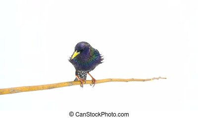 European Starling (Sturnus vulgaris) isolated on a white...