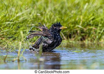 European Starling taking a Bath - European Starling (Sturnus...