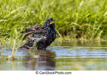 European Starling washing - European Starling (Sturnus...