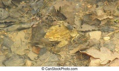 European toad, Bufo bufo