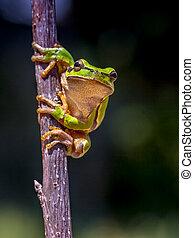 European tree frog dark image - European tree frog (Hyla...