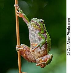 European tree frog hanging on a str