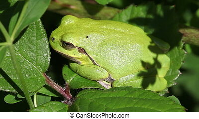 European tree frog - Hyla arborea in a side view