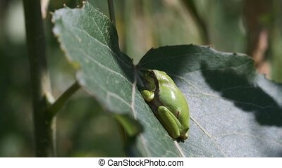 European tree frog - Hyla arborea on a leaf - at sunbathing...